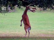 Standing fallow buck deer