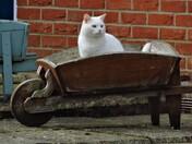 Cat-In-The-Barrow