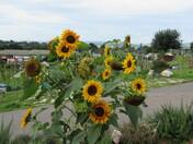 Allotment sunflowers