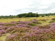 Purple haze of heather on Cavenham Heath.