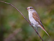 Red Backed Shrike, juvenile