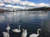 Swans on the Deben Woodbridge