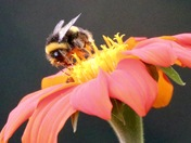 Just a bumblebee on a flower
