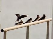 Swallows in Woodbridge