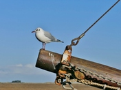 GULL IN THE RIGGING AT WELLS NEXT SEA