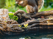 Grey squirrel and fox in my garden