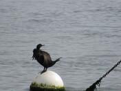 A Cormorant