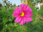 Cosmos in bloom