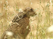 My favourite images of this summer . The Hare the little Owl and Mr Fox.