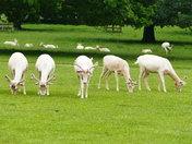 DEER AT HOUGHTON HALL