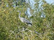 Balancing Heron