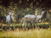 Deer at Raynham, Norfolk