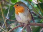 Robins roaming around