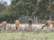 Deer Rut at Minsmere.