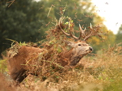 The Stags are getting ready to rut at Bushy park