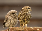 Two little Owls in Suffolk .