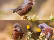 Dartford Warblers at Dunwich Heath
