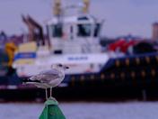 Felixstowe gull
