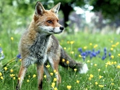 A beautiful Fox out hunting