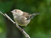 Female Chaffinch.