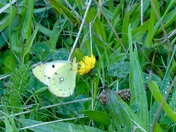 Clouded yellow near Jacobs Ladder