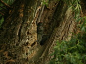 Young Woodpeckers, photo taken at about 7.30 on Friday evening in Outwell.