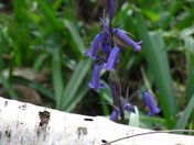 Bluebells at Waresley Wood April 2012