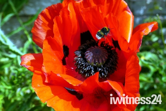 Poppies in my garden