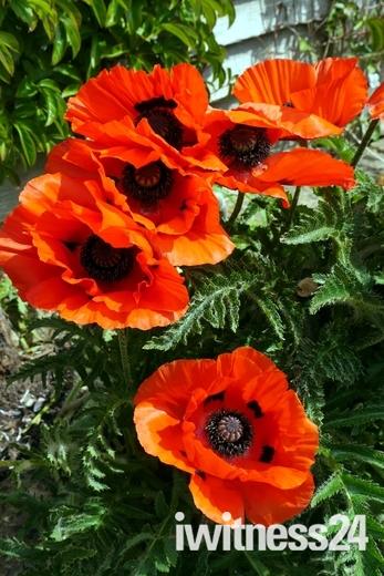 Giant poppies in my garden