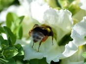 Busy collecting pollen