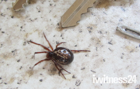 False black widow spider?