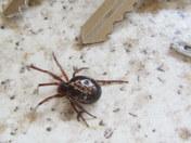 False black widow spider?