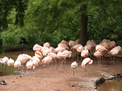 Chilean Flamingos in Paignton Zoo