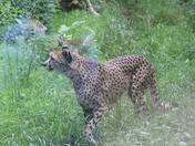Cheetah in Paignton Zoo