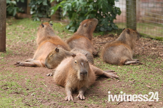 Black-tailed Prairie Marmot at Paignton Zoo