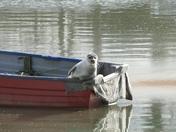 Fremington seal sunbathing