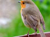 Robin, visiting my garden.