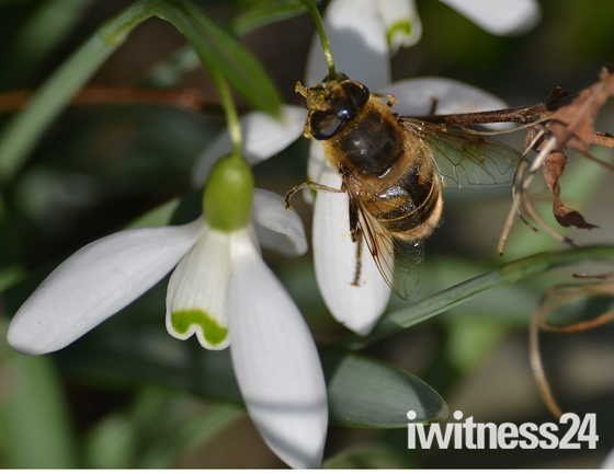 Snowdrop and Bee