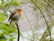 Email Request for Autumn Photographs - DSC6864 Robin on Perch