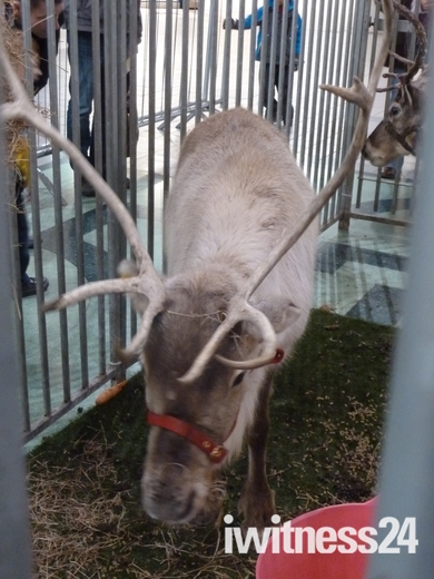 Reindeer in the Howard Centre