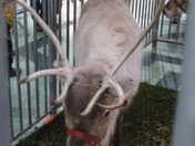 Reindeer in the Howard Centre