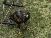 Birds on display at weston air festival