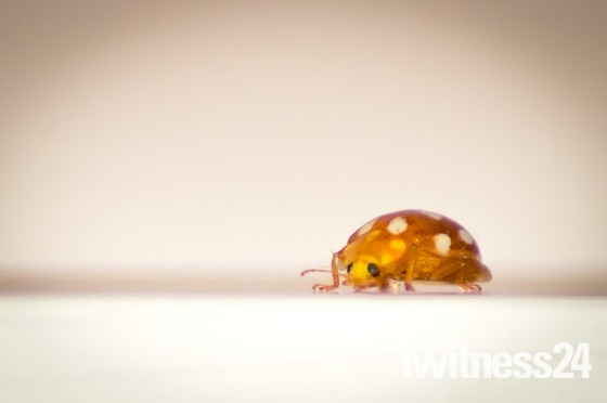 Orange Ladybird