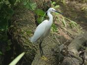 Little Egret,  River Ingrebourne , Hornchurch, Monday 9th June 2014