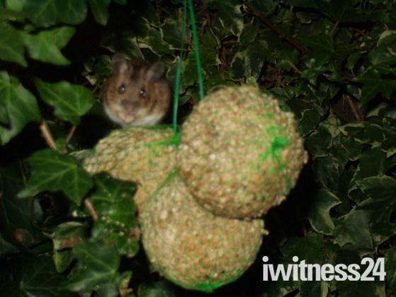 Mouse eating birds fat balls