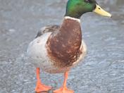 Duck on ice