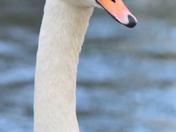 Swan in Valentines Park