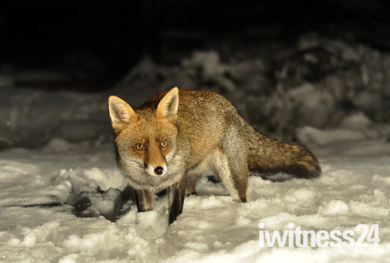 Fox in the snow in Collier Row
