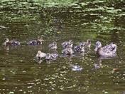 ducklings in lake