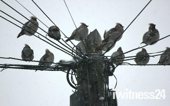 Beautiful birds in Chadwell Heath, Waxwings & Pigeons